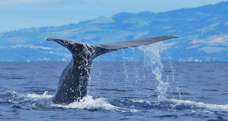 Wale beobachten auf São Miguel, 8 Tage/7 Nächte, täglich